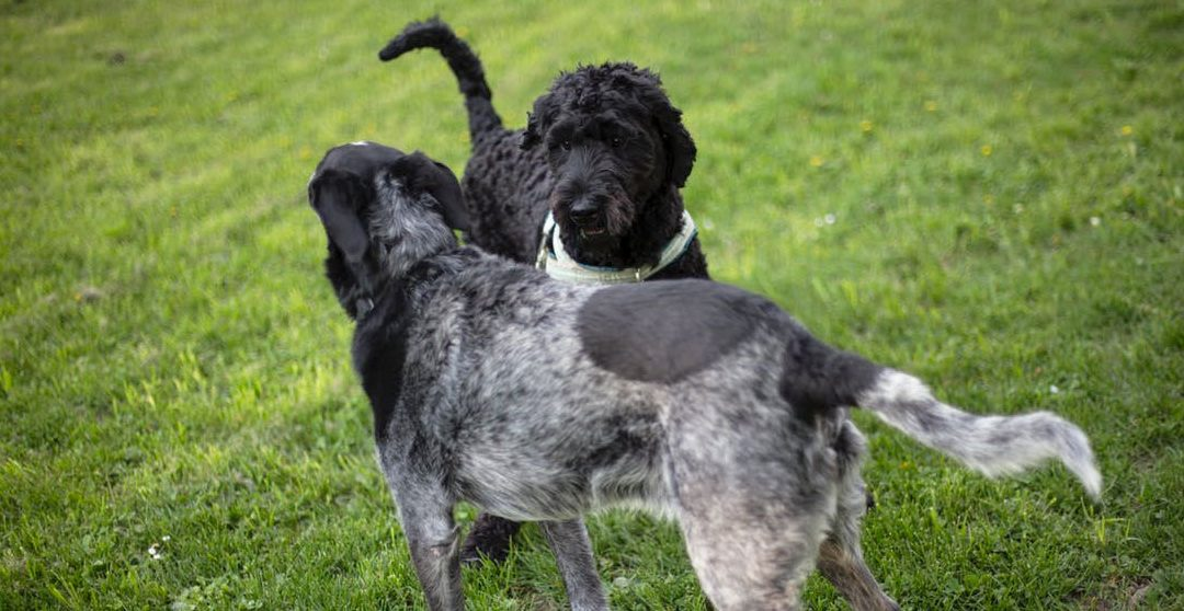 WHAT IS THE FEMALE DOGS HEAT CYCLE?