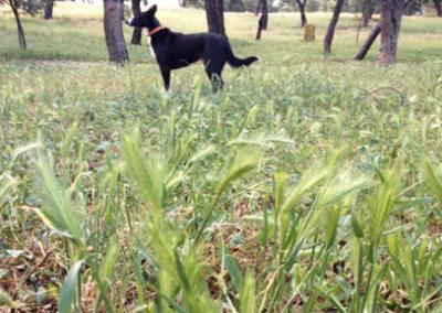 Extracción de espiga en paciente canino