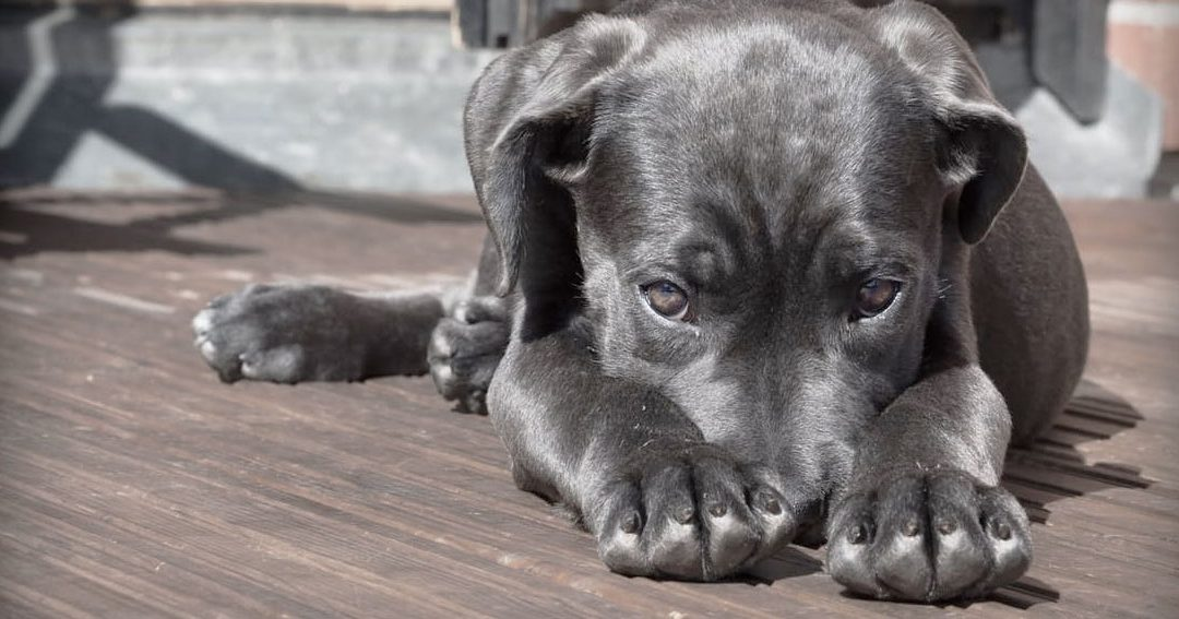 ¿Los perros sufren ansiedad?
