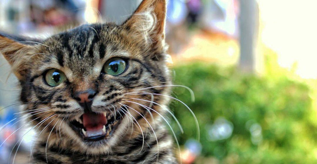 Gingivitis crónica felina