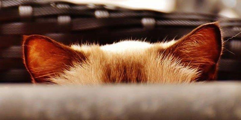 otohematoma gato