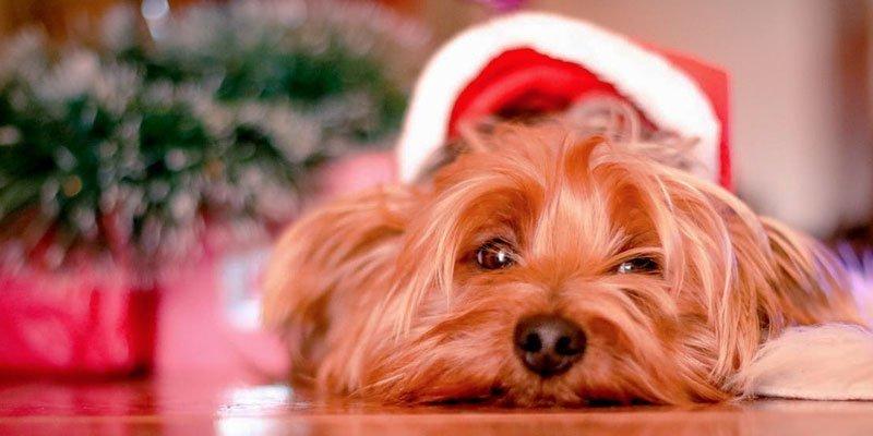 Alerta con la navidad y algunos alimentos dañinos para nuestras mascotas
