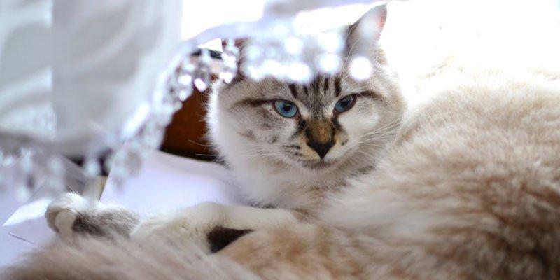 Cambios de estacionalidad relacionados con el celo en las gatas