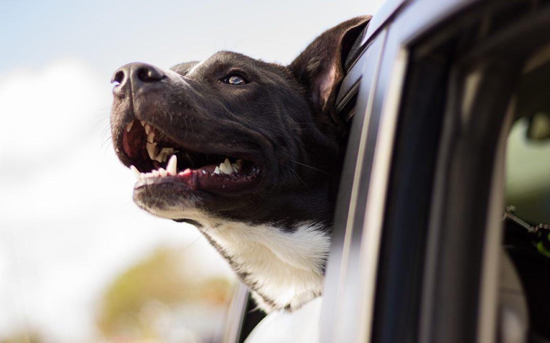El mareig dels gossos al cotxe