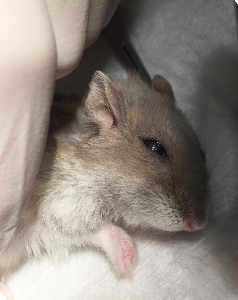 Fractura abierta hamster
