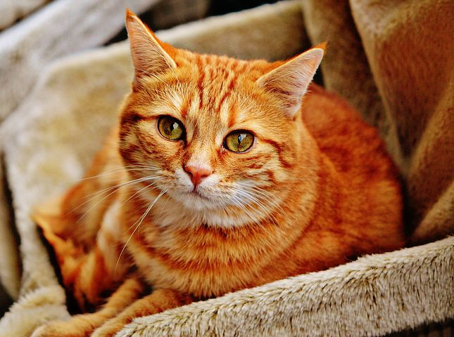 Les anèmies en gats