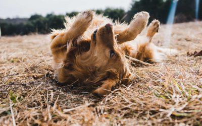 Pot tenir Alzheimer el meu gos?