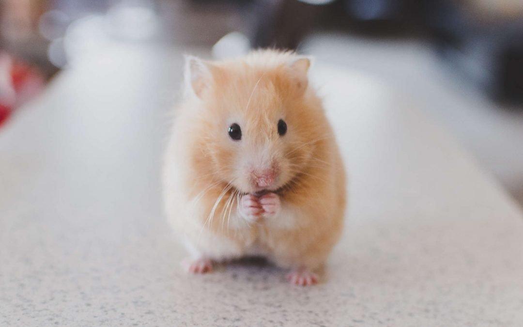 Rueda de hamster | ¿Es realmente un entretenimiento para ellos?