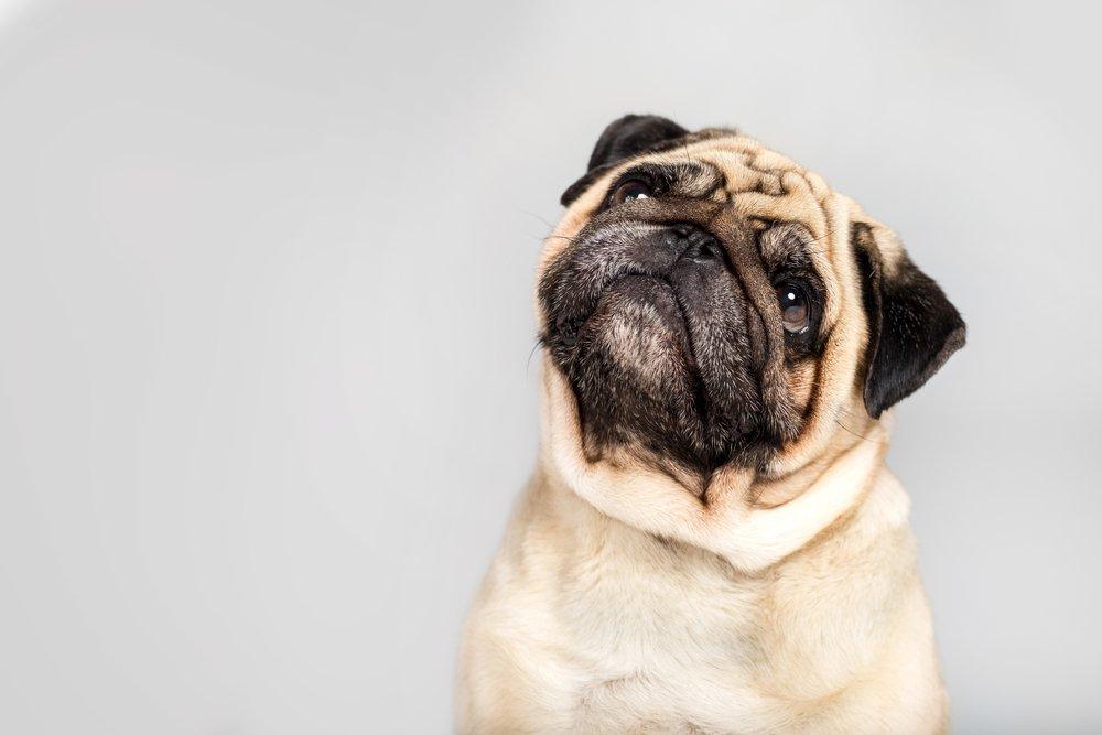 Filariosi canina. Què és i com afecta al teu gos?