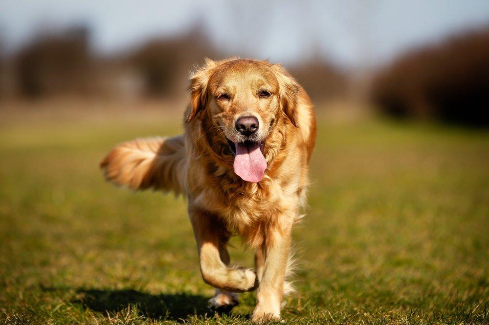 Els perills de les espigues en gossos | Aneu amb compte