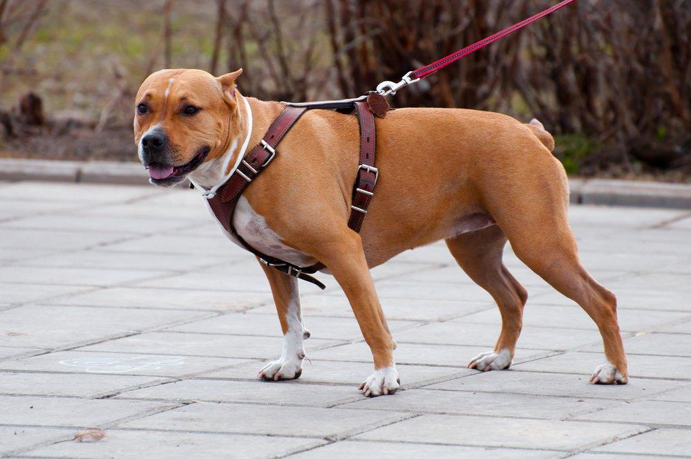 Arnès o corretja? | Corretges i arnesos per gossos