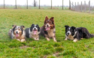 ¿Collar antiparasitario o pipeta?   Protege a tu perro
