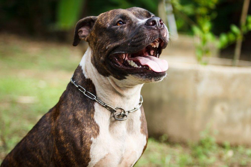 Adopció PPP |Adoptar gossos de races potencialment perilloses
