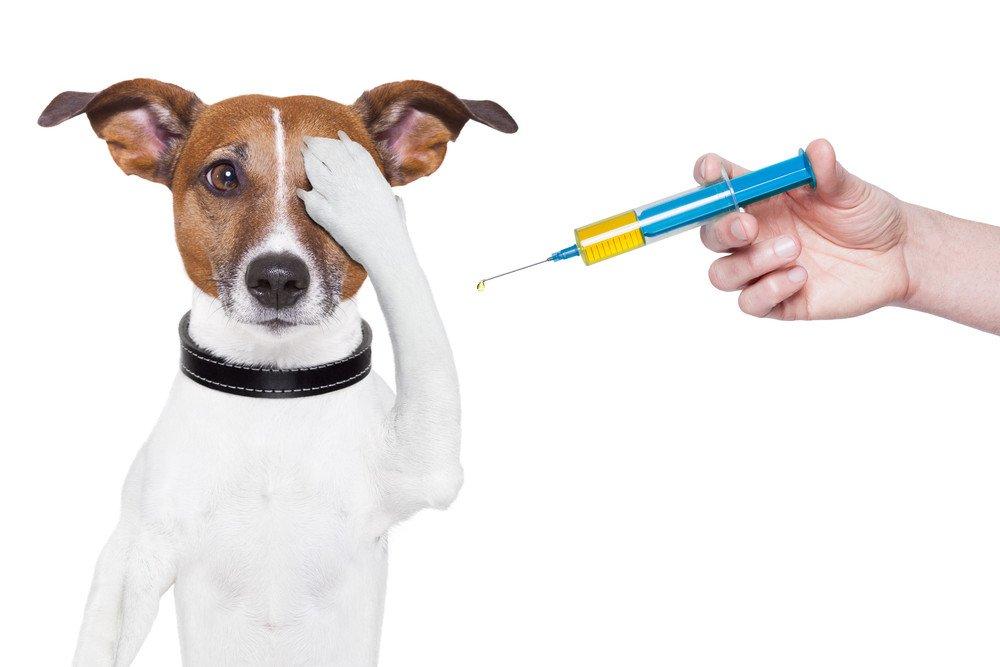 Vacunes per a gossos. Quines són obligatòries i quan posar-les?