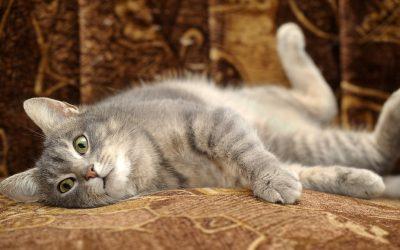 Desparasitar un gat. Quan i com? Tot el que cal saber