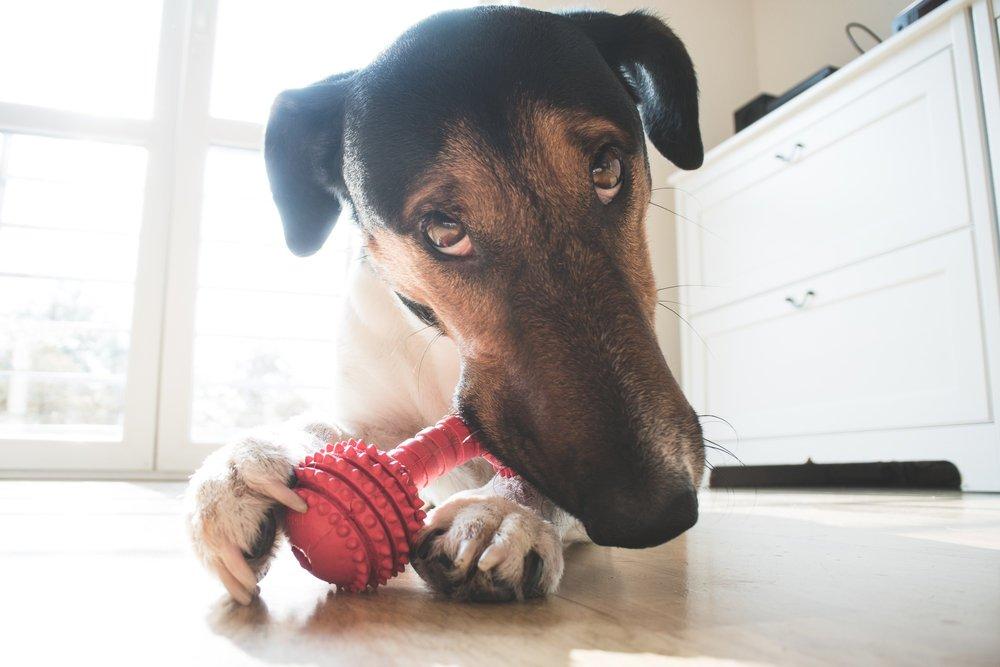 Jocs per a gossos en casa