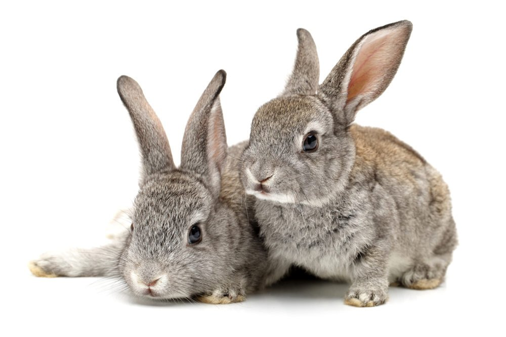 Malalties en conills