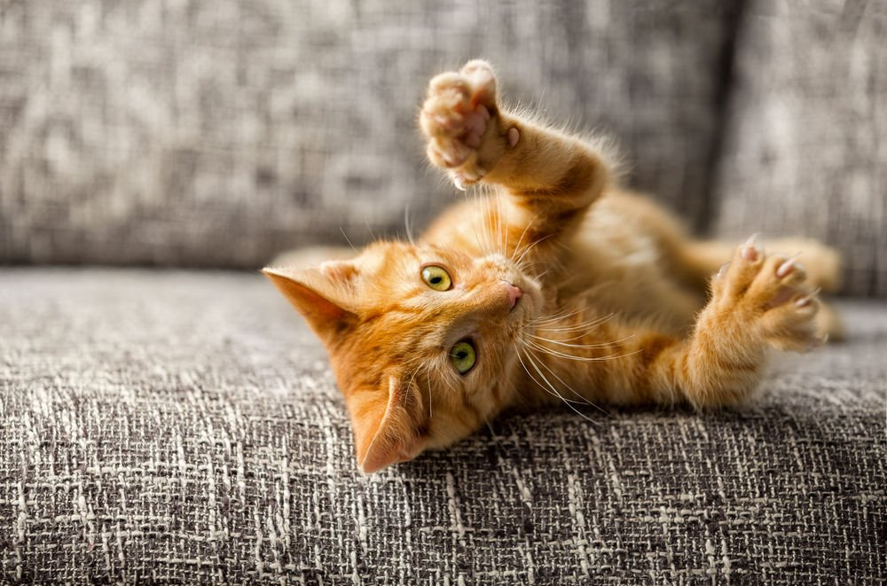 5 Razas de gatos naranja